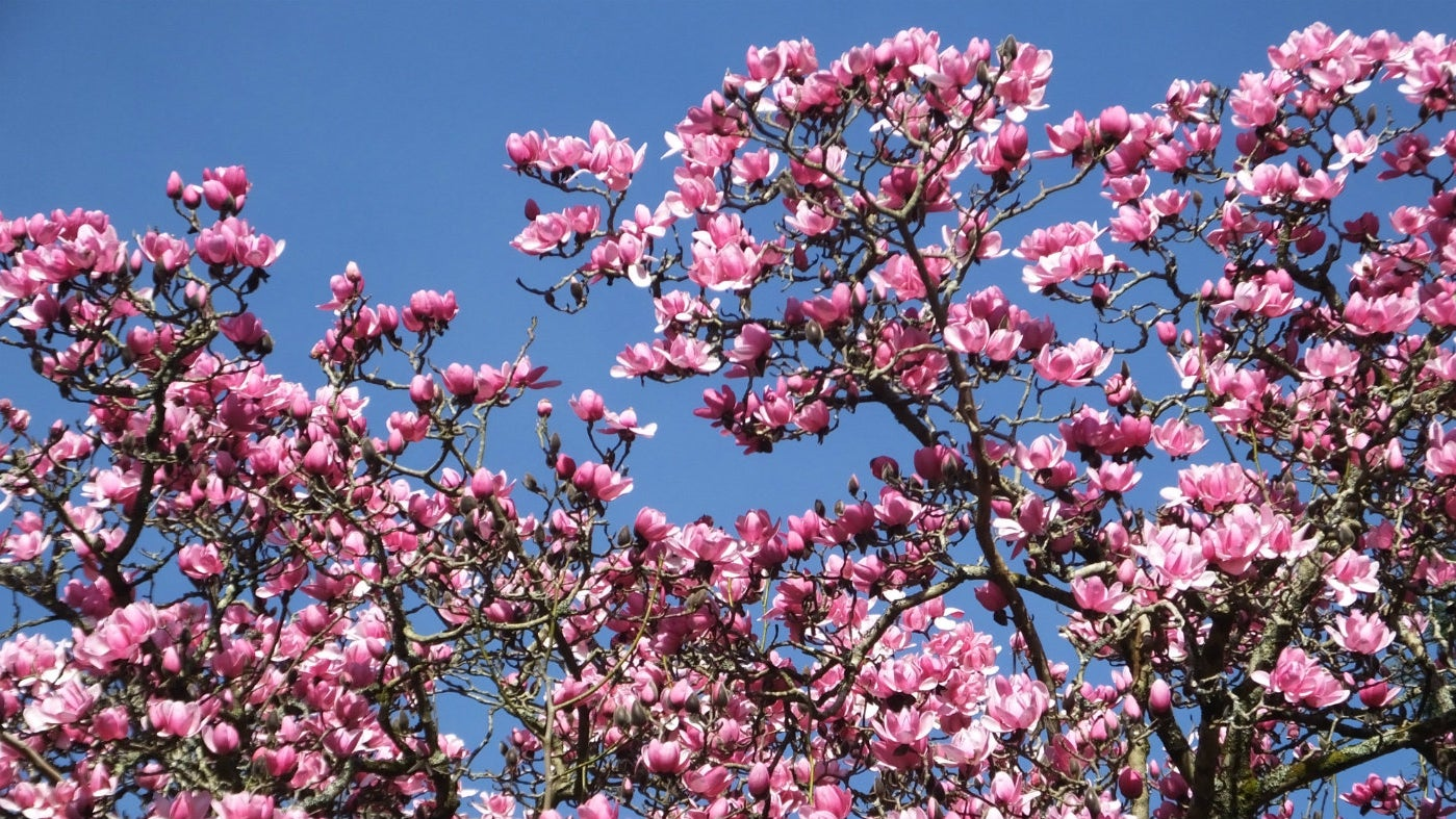 Pink blooms of the Magnolia campbellii at Trengwainton Garden in Cornwall