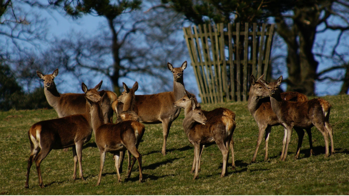 A group of Red Deer hind in the Arlington parkland