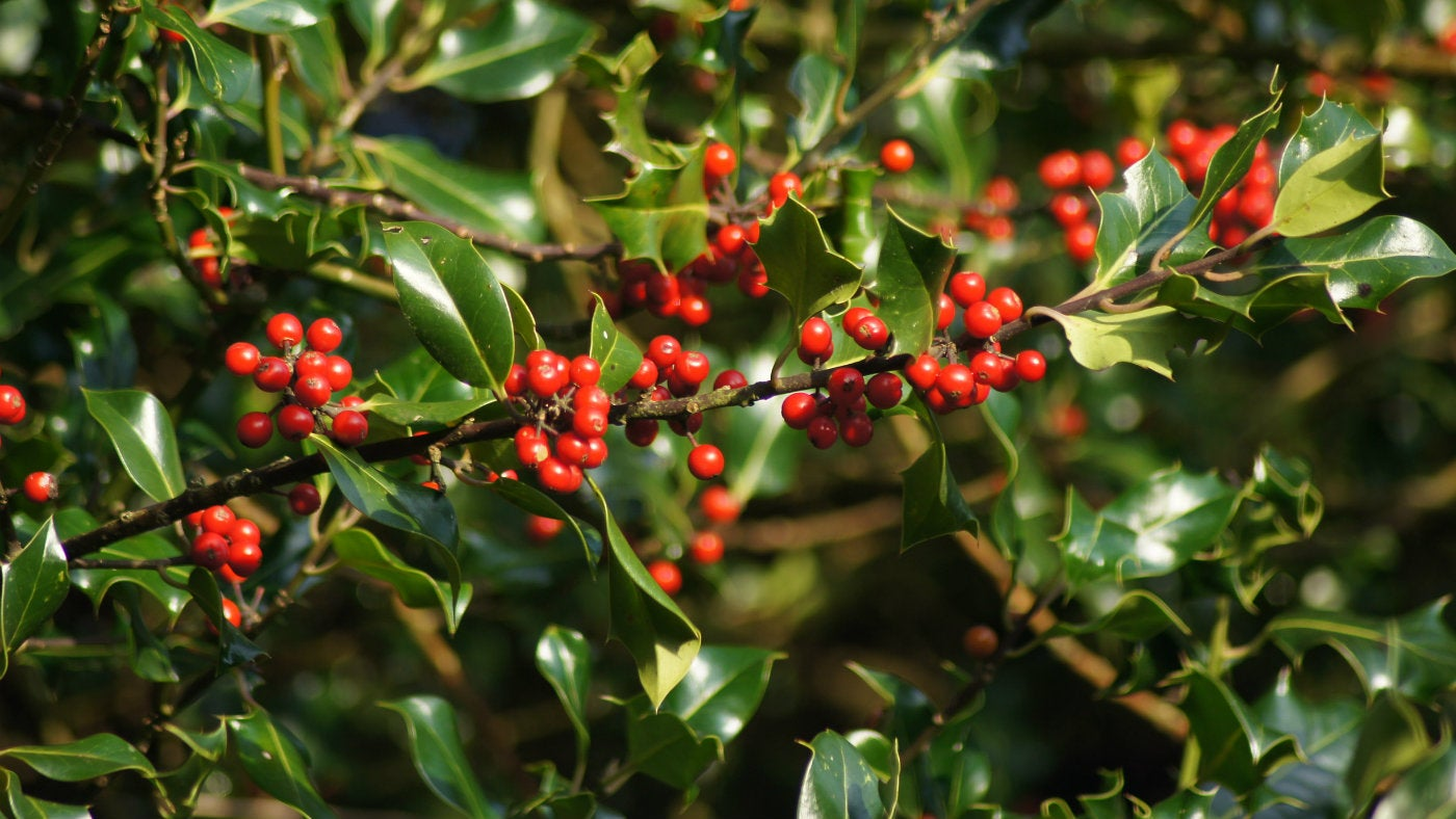 Holly berries in the woodland