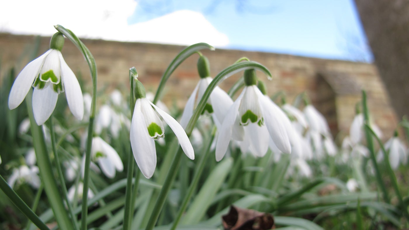 Snowdrops in the Pleasure Grounds at Wimpole