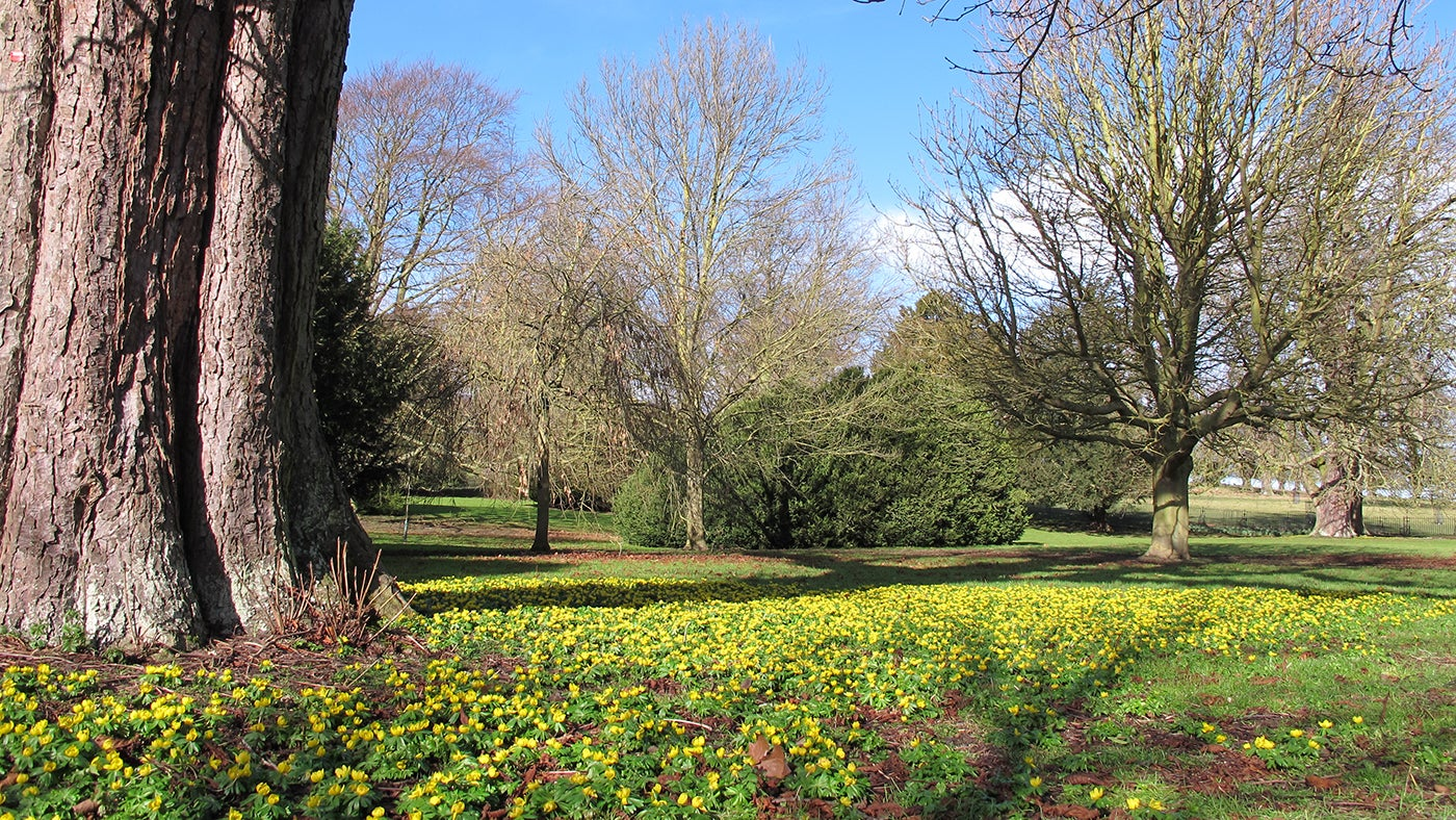 Aconites in the Pleasure Grounds at Wimpole