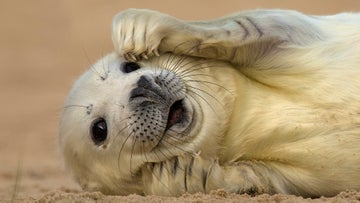Fluffy white grey seal pup lying on the sand