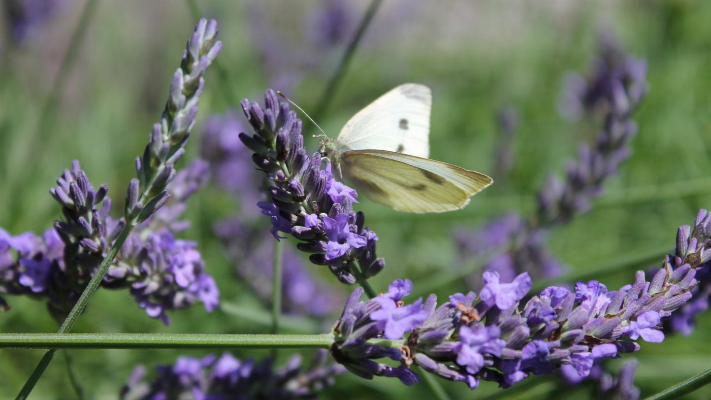 A butterfly on the lavender at Alfriston Clergy House