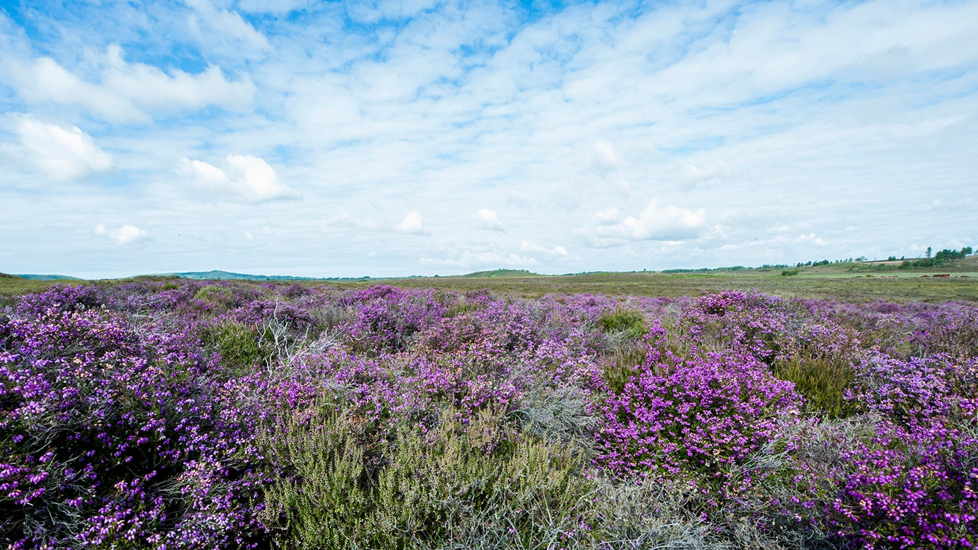 A view of Hartland Moor, near Corfe Castle
