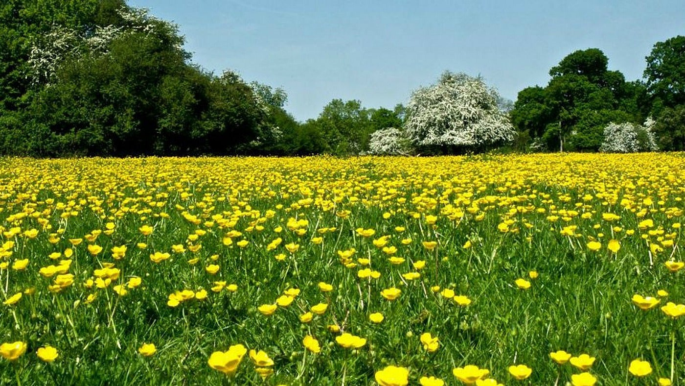 Buttercups on the Plain at Hatfield Forest