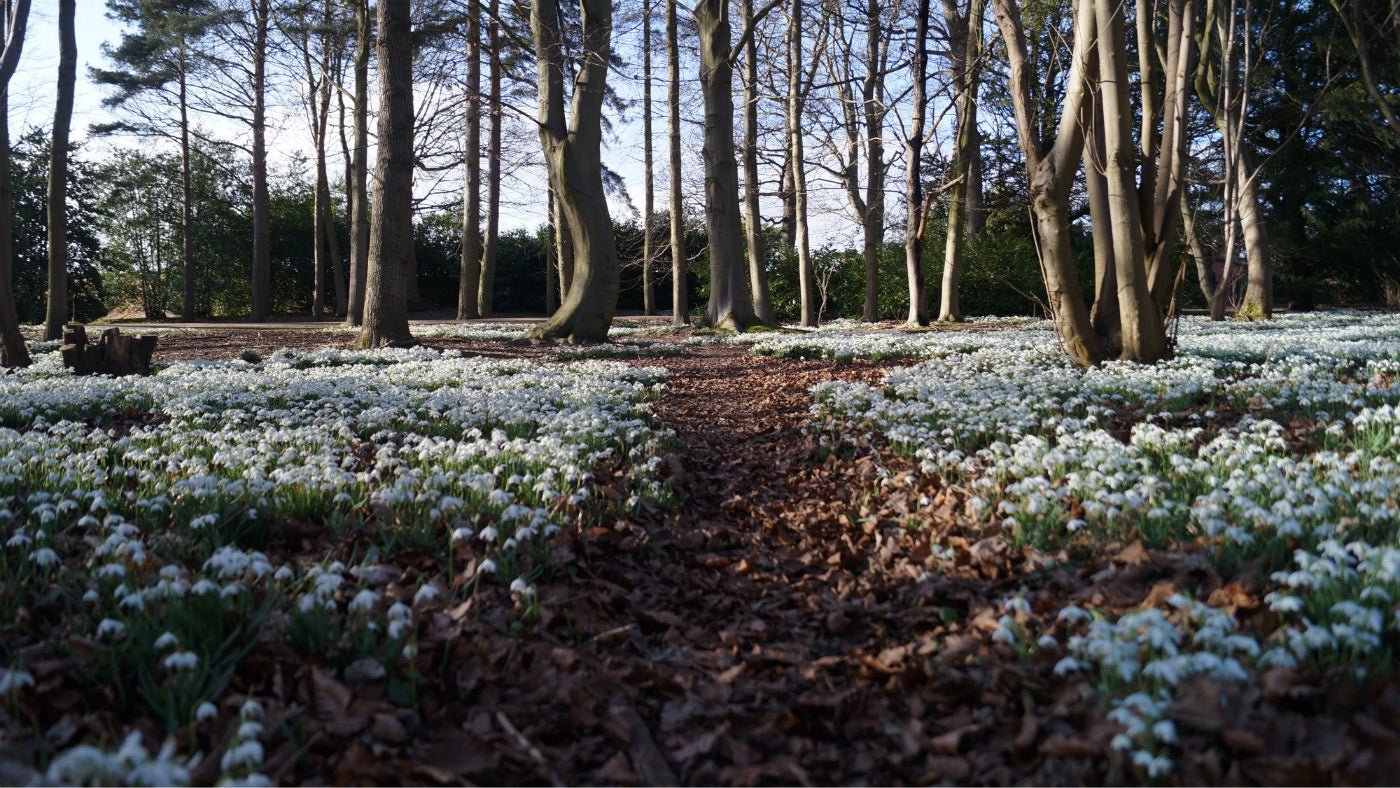 A view into the woodland at Attingham which is covered in snowdrops