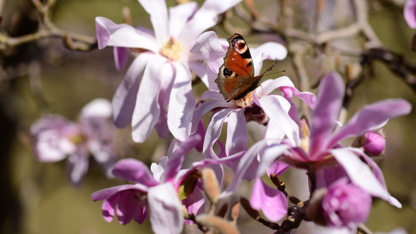 A butterfly perched on a magnolia at Stoneywell, Leicestershire