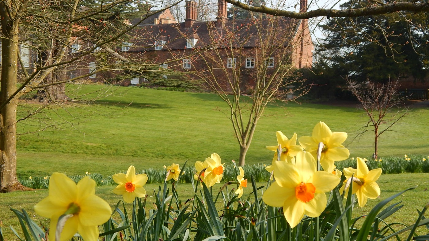 Daffodils at Dudmaston in Shropshire