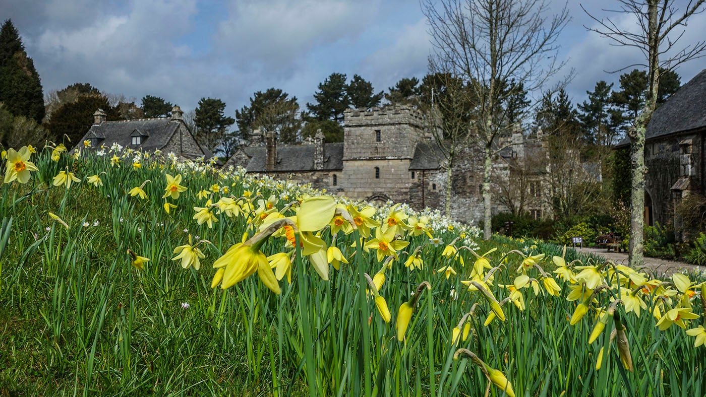 Daffodils growing in front of the house at Cotehele, Cornwall
