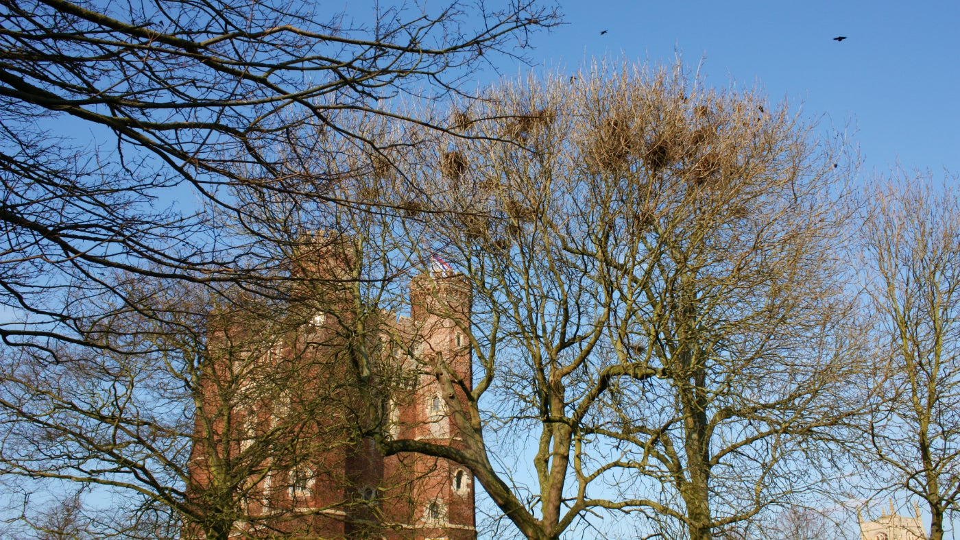Rook nests in trees beside the tower at Tattershall Castle
