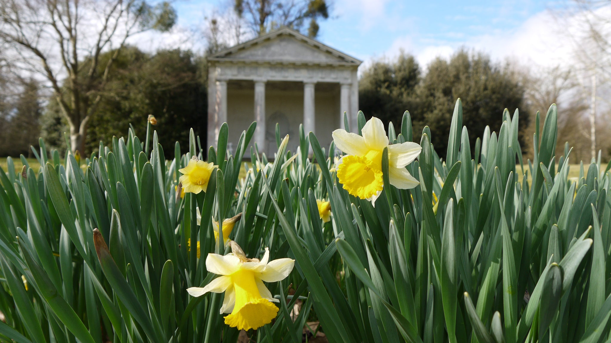 Daffodils in the Pleasure Grounds