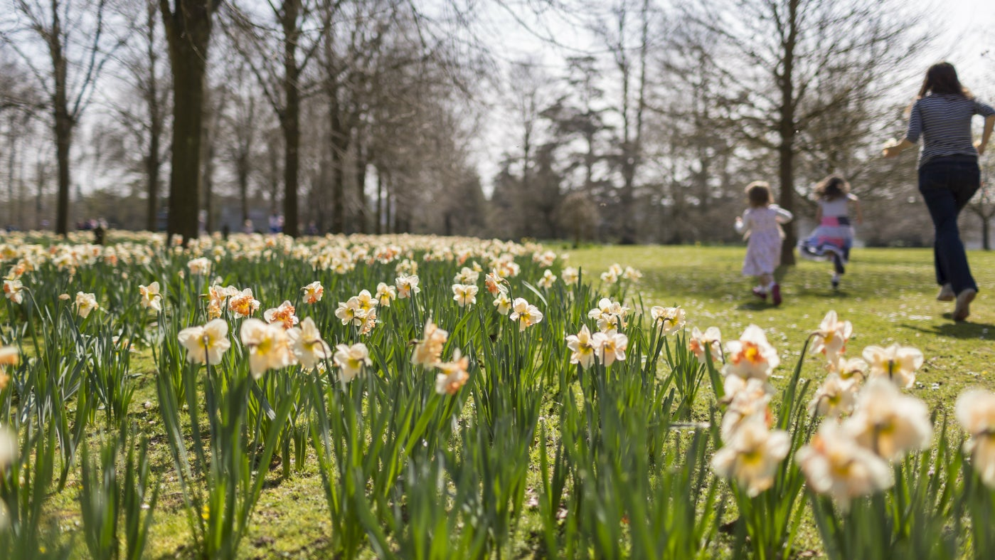 Cadbury Easter Egg Hunt through daffodils
