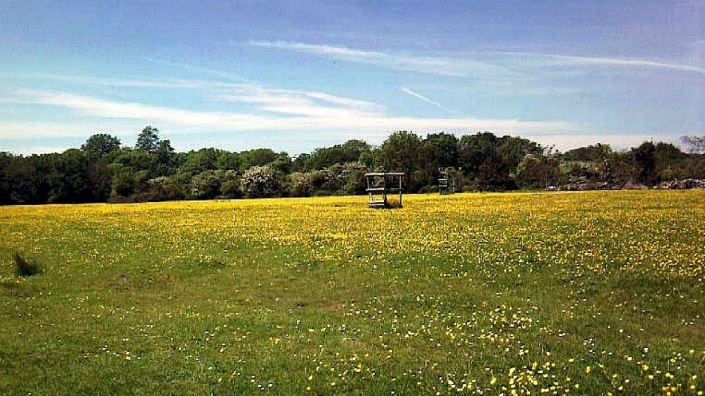 A view of Hatfield London Road in May together with buttercups