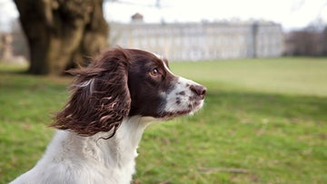Spaniel at Petworth Park