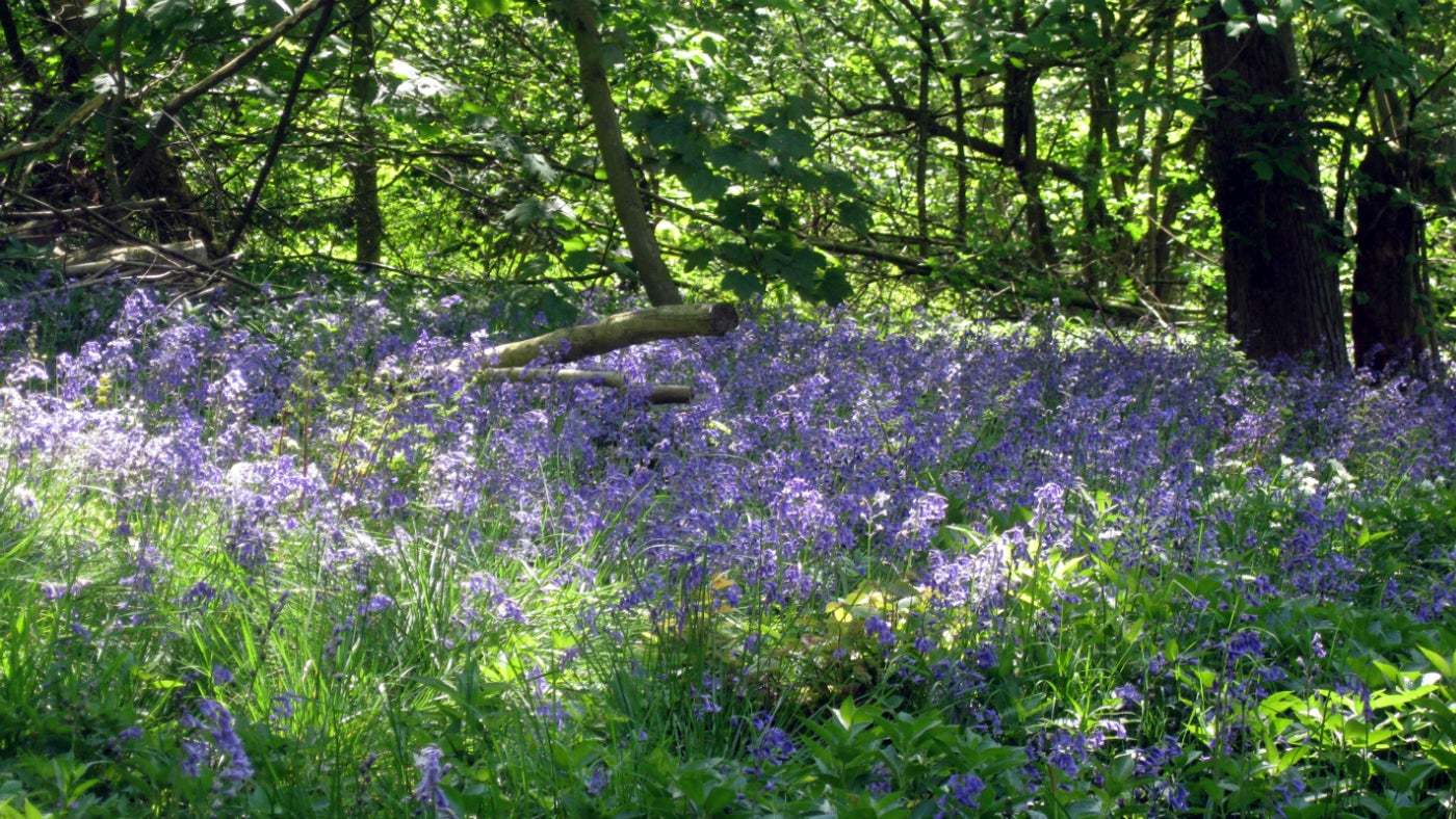 Bluebells in Hardwick woods