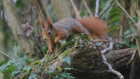 A red squirrel in the woods at Plas Newydd
