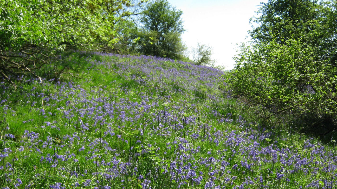 Bluebells at the Skirrid, Monmouthshire