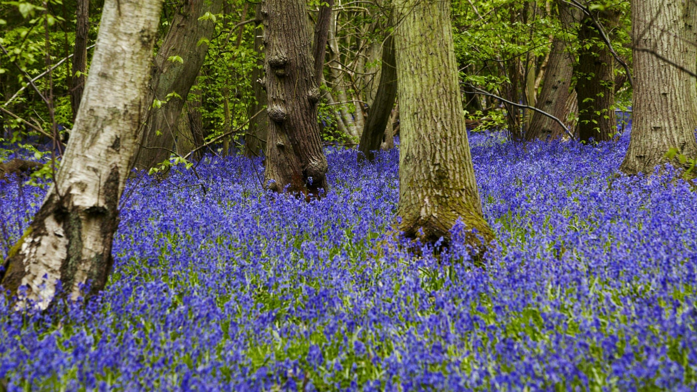 Bluebells at Blakes Wood, Essex, in spring