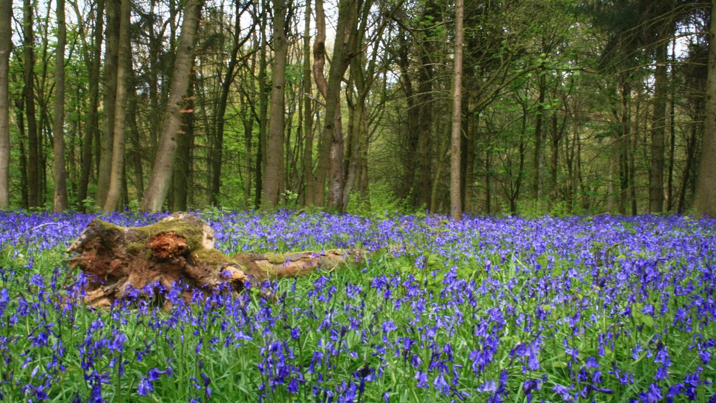 bluebells carpeting the floor in woodland