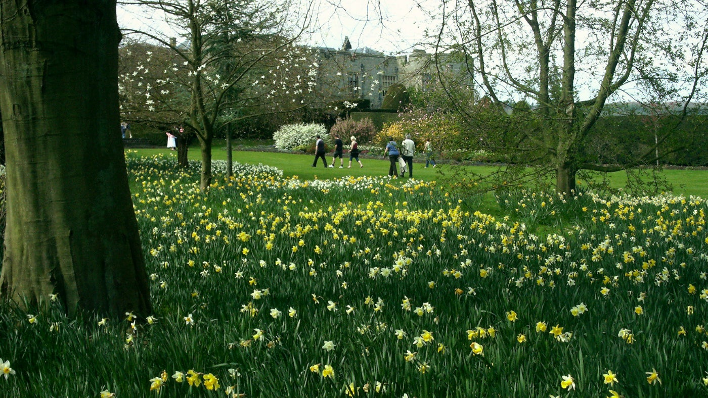 Daffodils on the lawn at Chirk Castle seen from the East