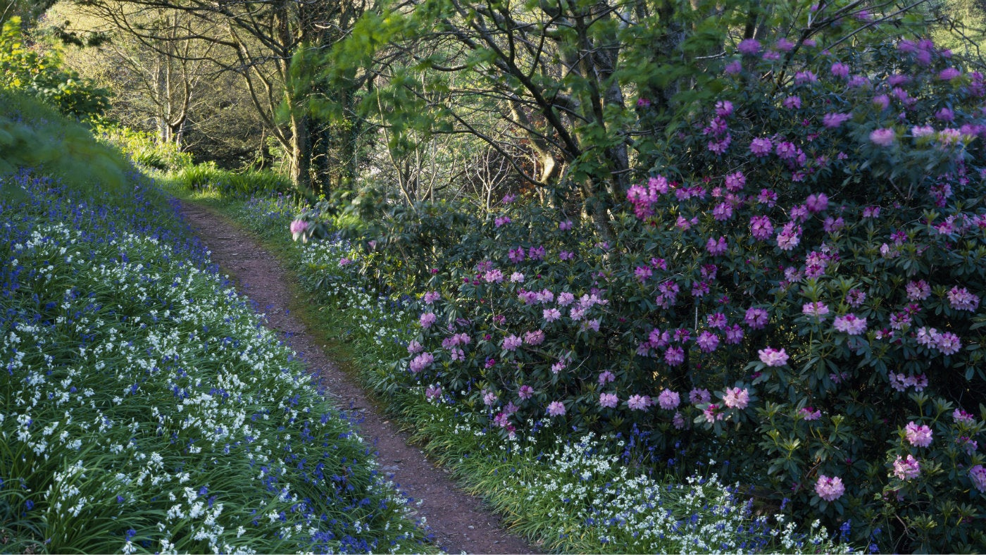 Spring bulbs and shrubs in flower at Coleton Fishacre