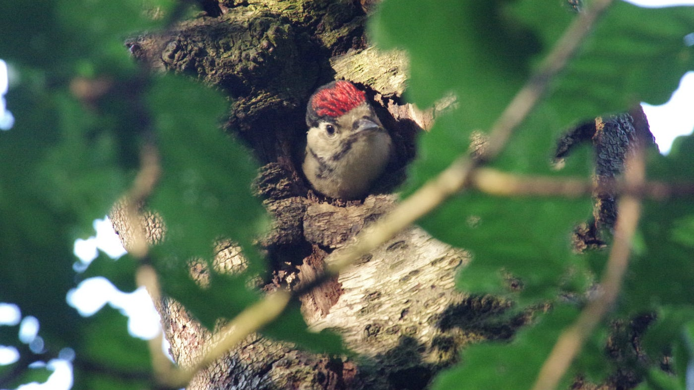 Woodpecker chick looking from a hole in a tree