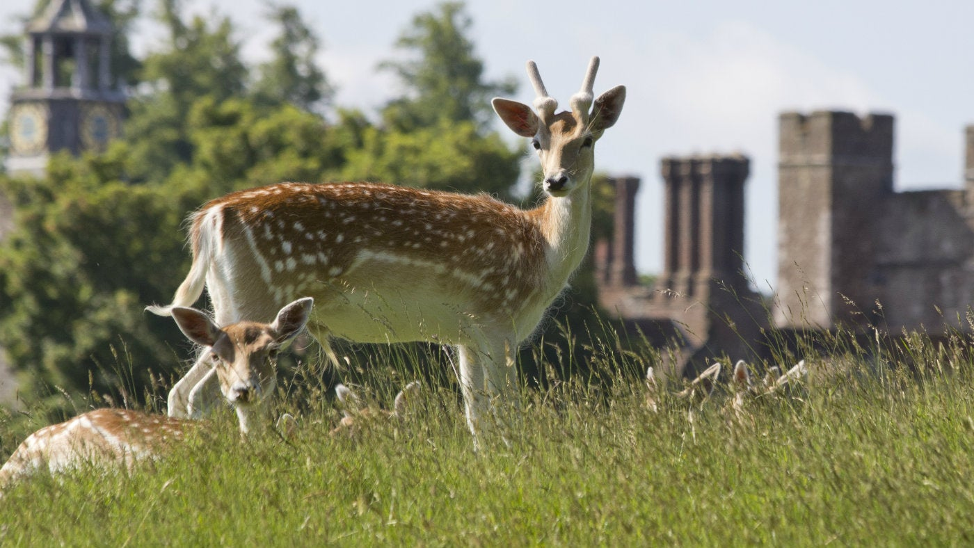 Knole Park in Kent is home to a wild deer herd