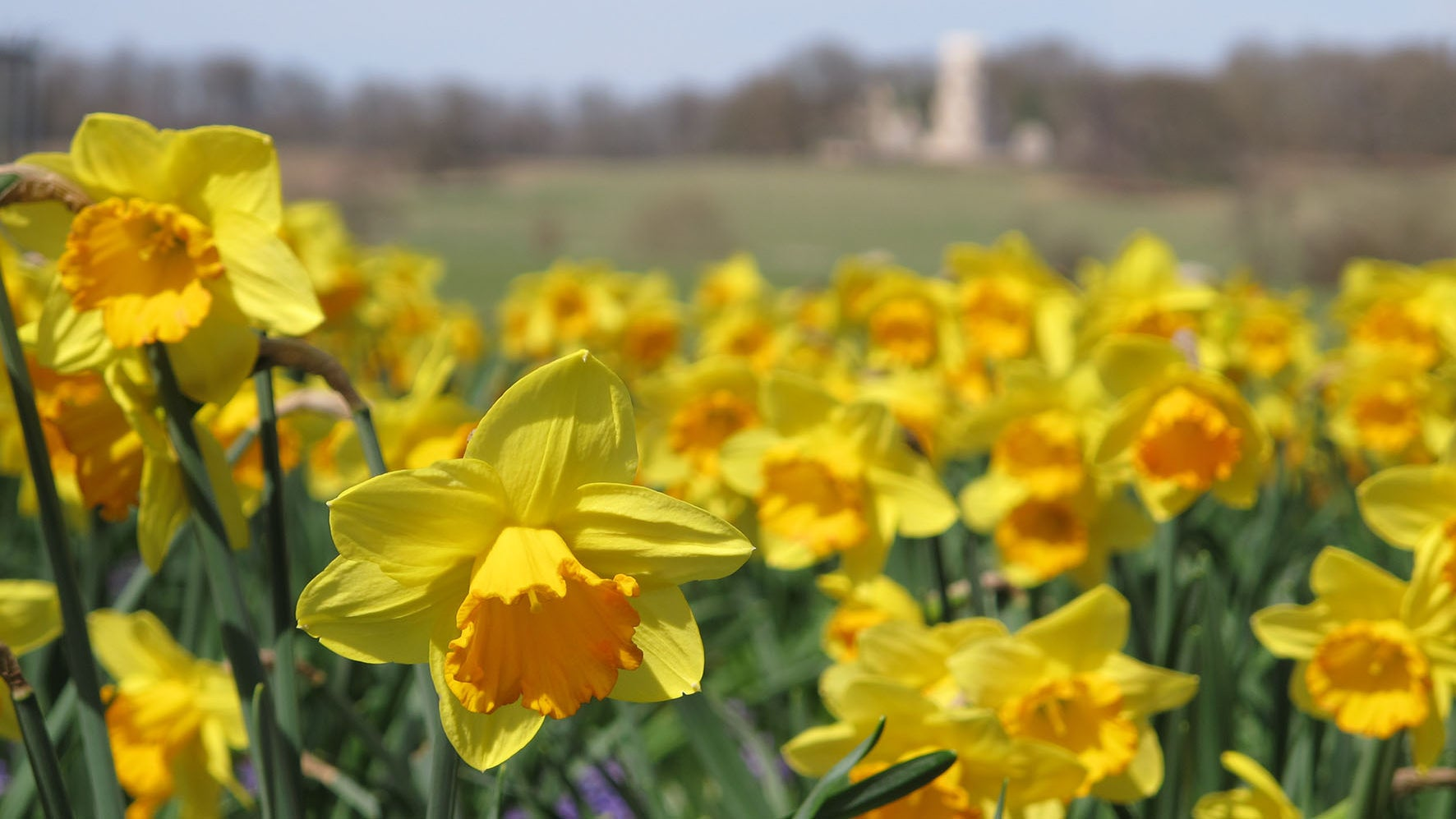 Daffodils in the Pleasure Grounds at Wimpole