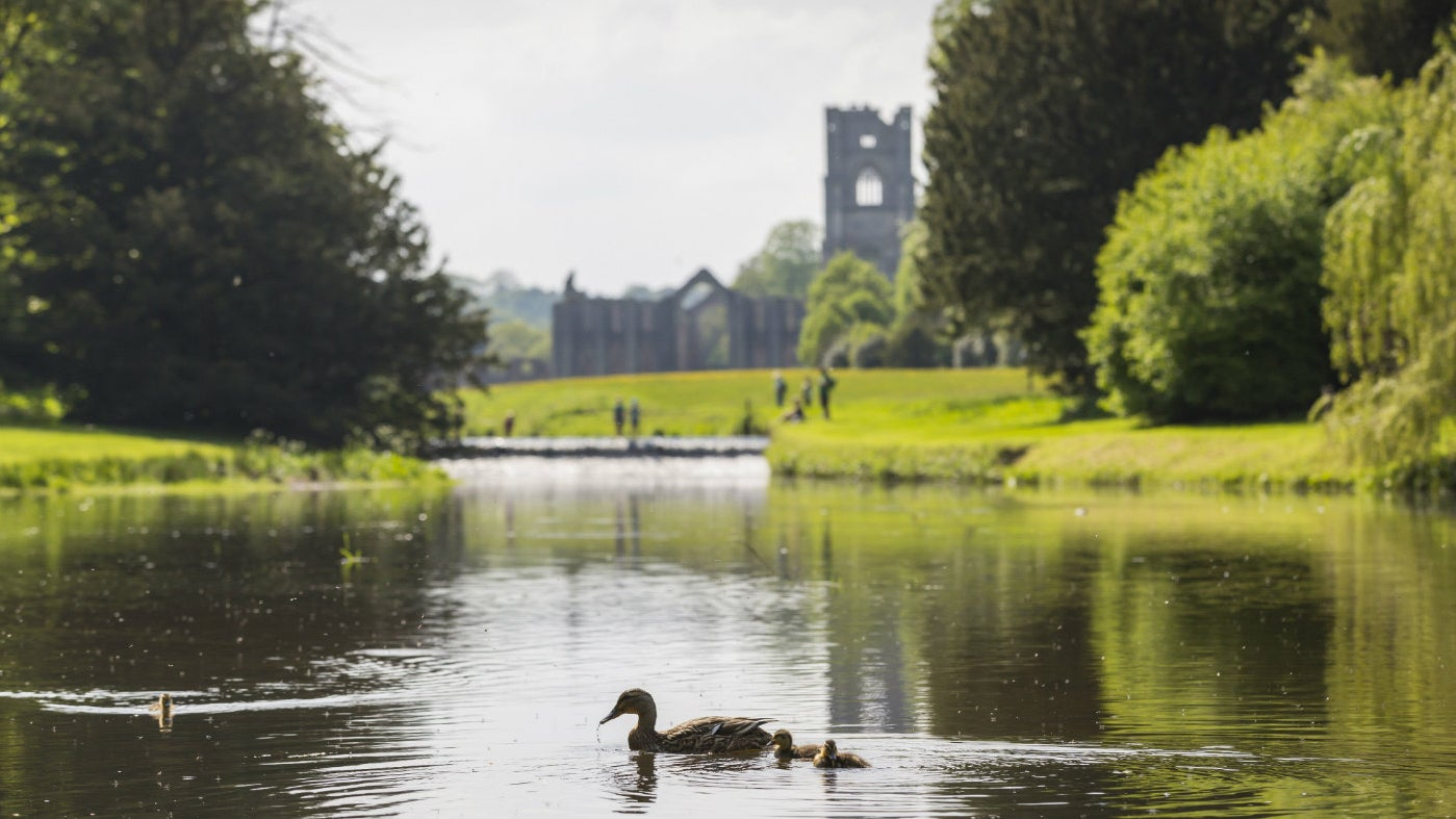 A duck with her ducklings on the river Skell with Fountains Abbey in the distance