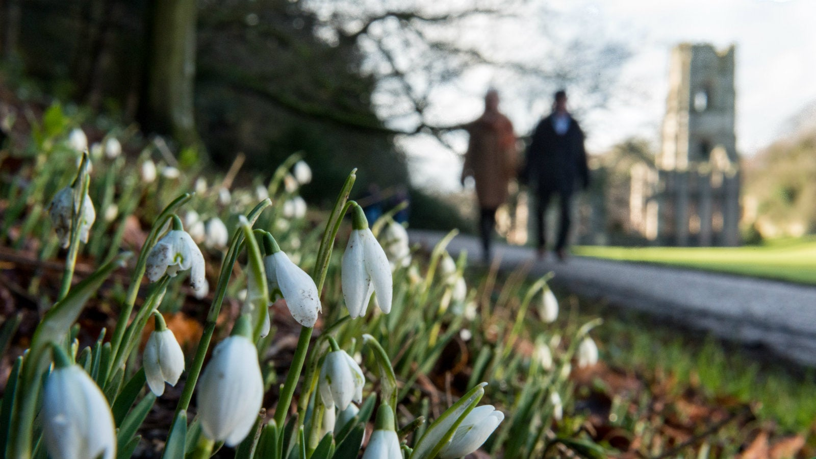 A couple walking past a snowdrop covered banking towards Fountains Abbey