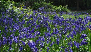Bluebells on Limpsfield Common
