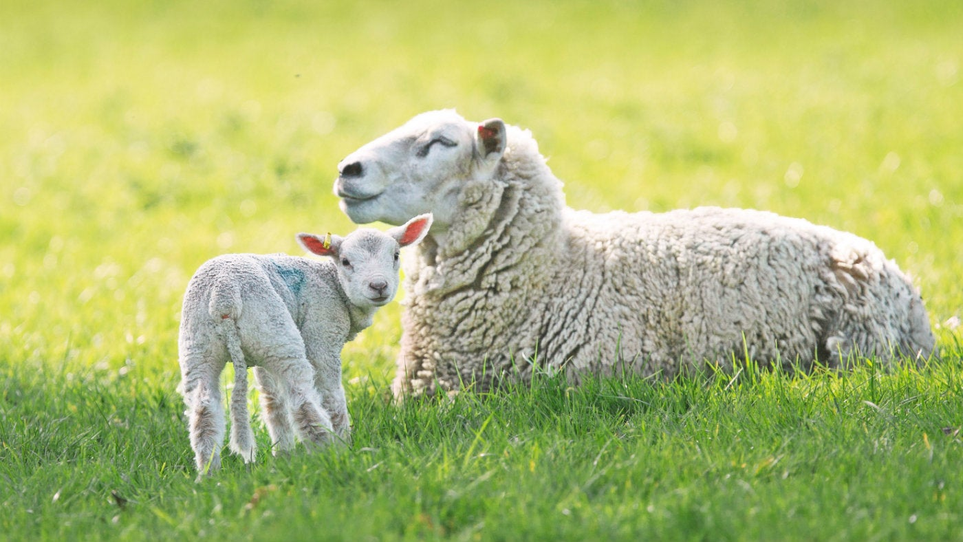 A lamb stands by a mother sheep