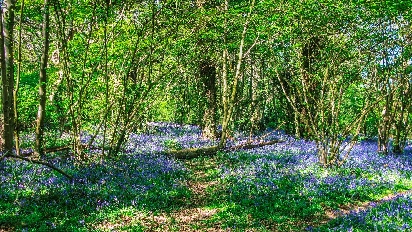 Bluebells cover the floor in Borthwood Copse