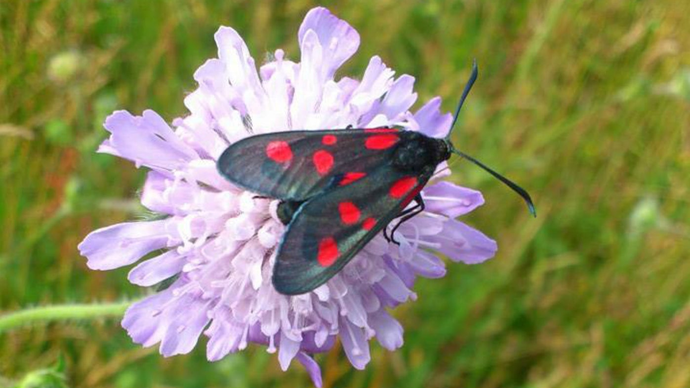 Six spot burnett moth on meadow scabious