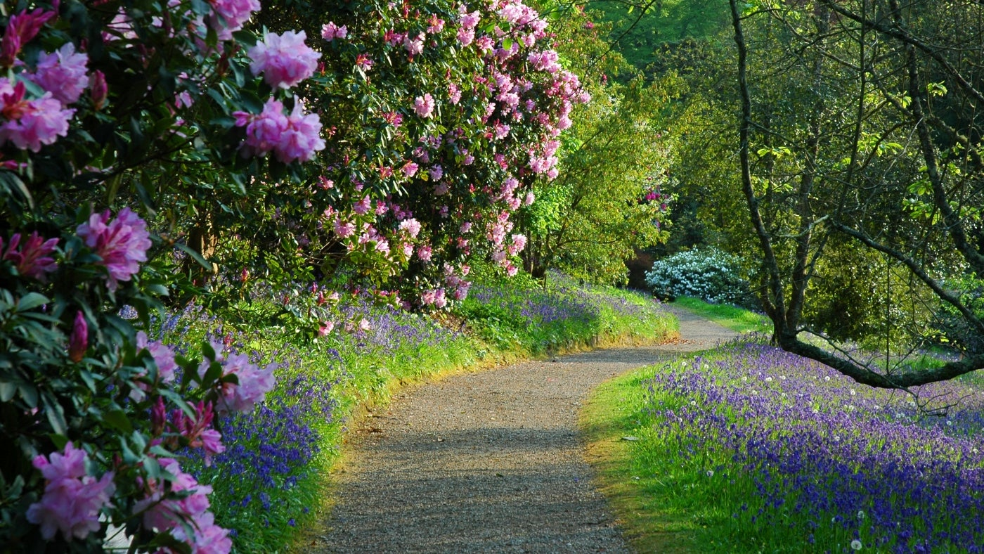 a path surrounded by bluebells with a large pink flowering rhododendron in the foreground leads down through the garden at Glendurgan in Cornwall