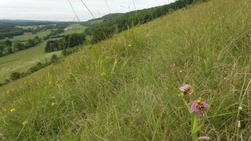 Summer flowers on Denbies Hillside