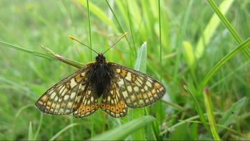 A marsh fritillary butterfly close up