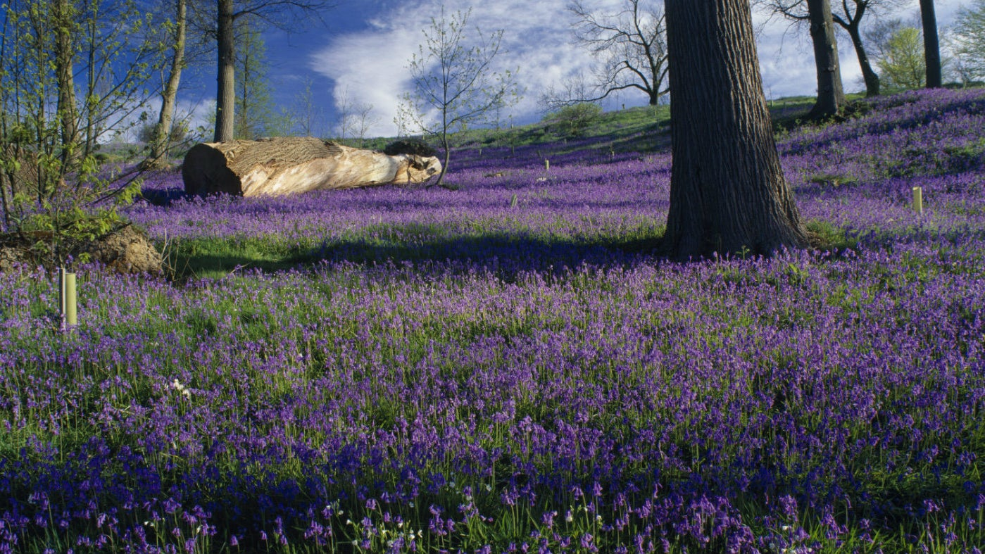 The bluebell bank in bloom at Emmetts Garden, a National Trust property in Kent
