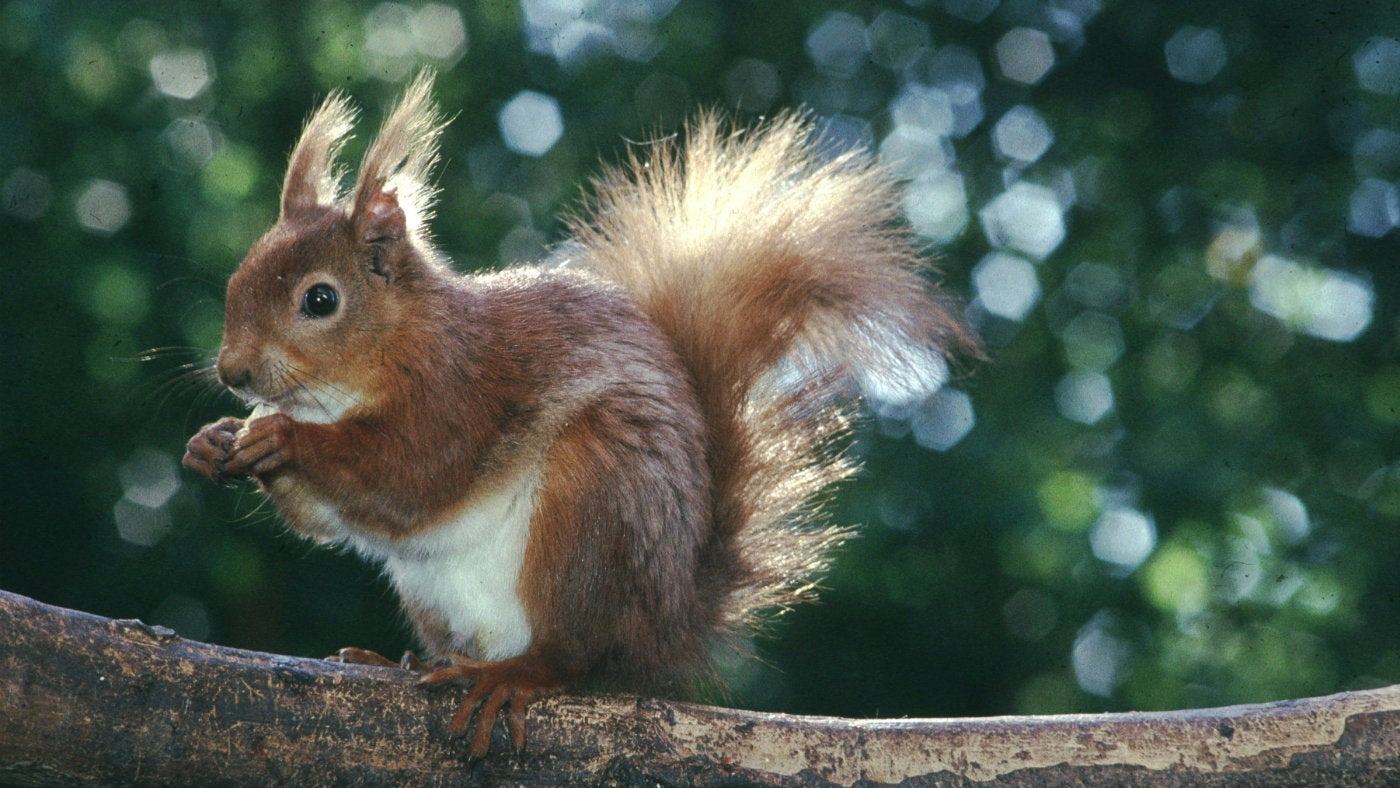 Red Squirrel populations are being affected by leprosy