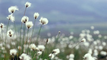 cotton grass detail foreground blurred background blue sky