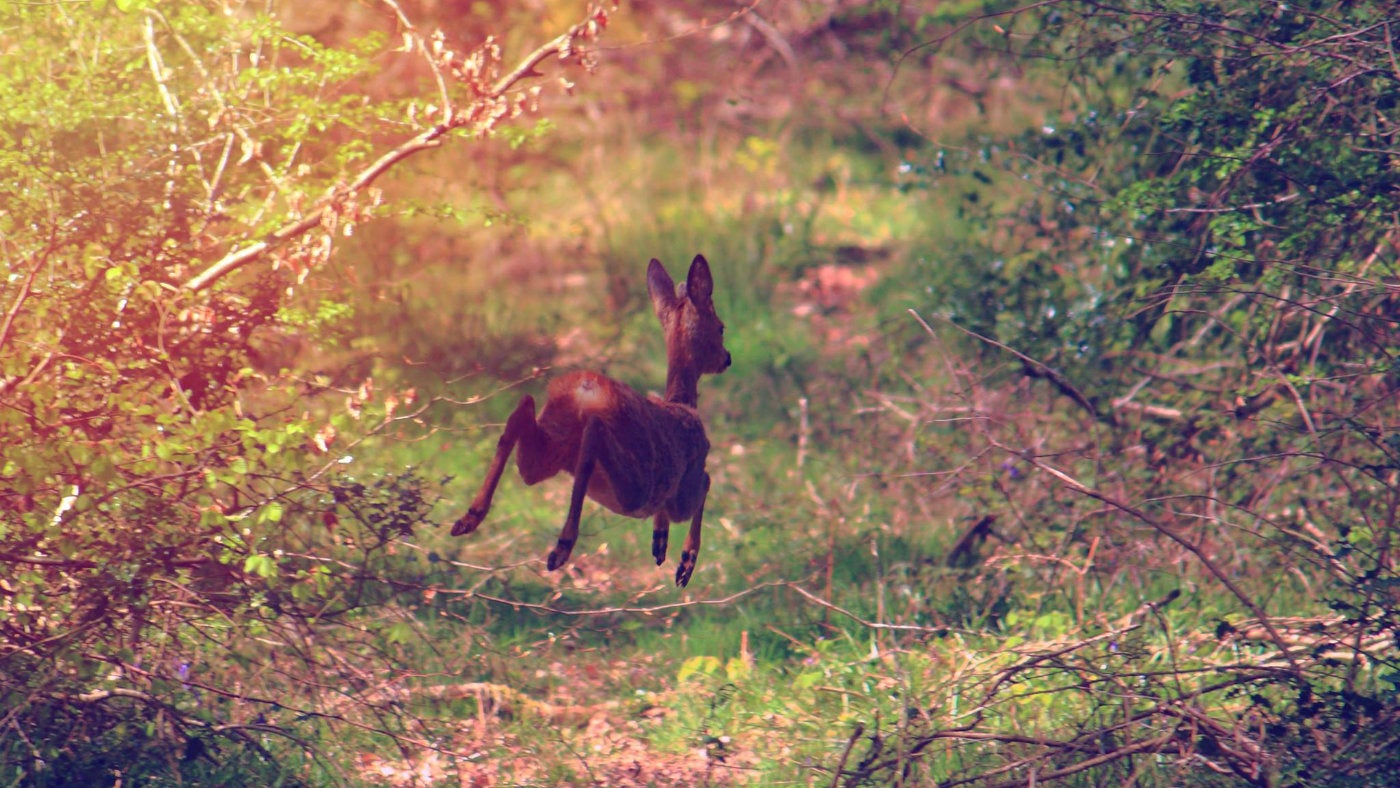 A deer in Ashclyst forest