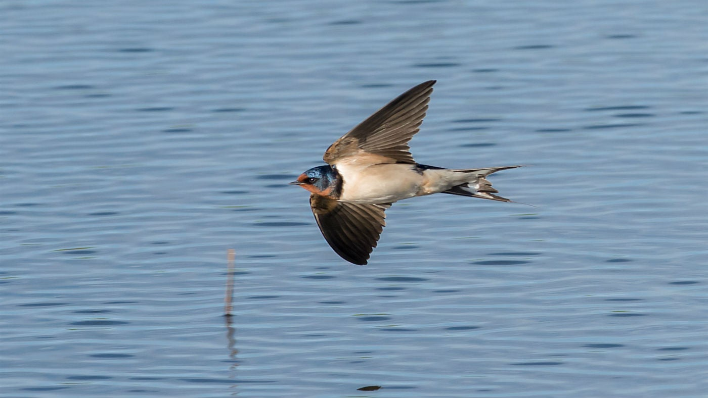 A swallow flying low over the water