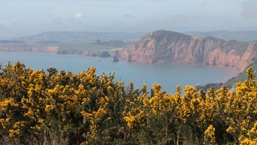 Take a peak at the view of Sidmouth over the gorse growing along the coast