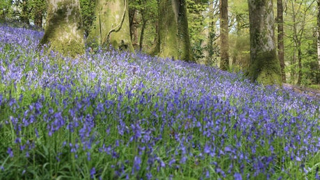 Bluebells at Colby Woodland Garden