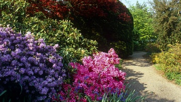 The azaleas at Emmetts Garden, a National Trust property in Kent, in bloom in May