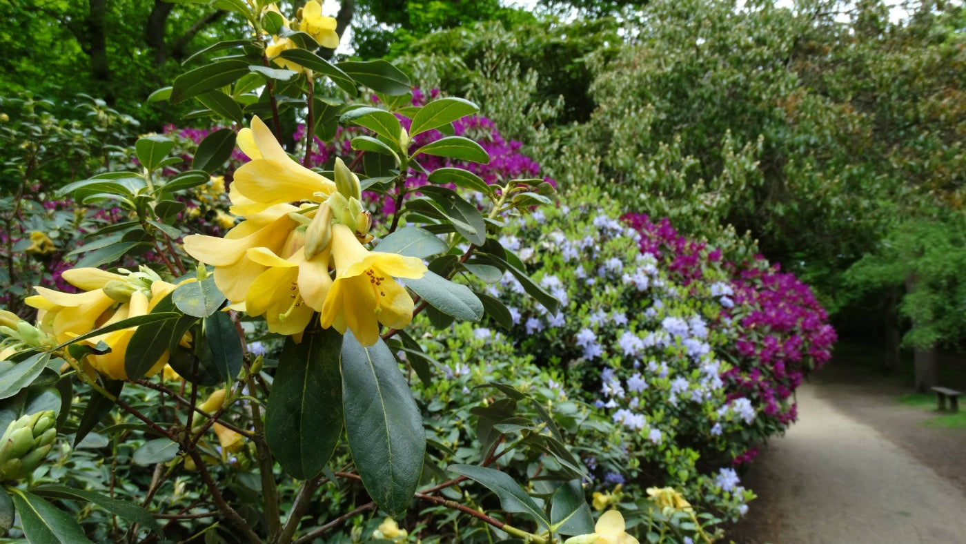 Rhododendrons in flower at Sheringham Park