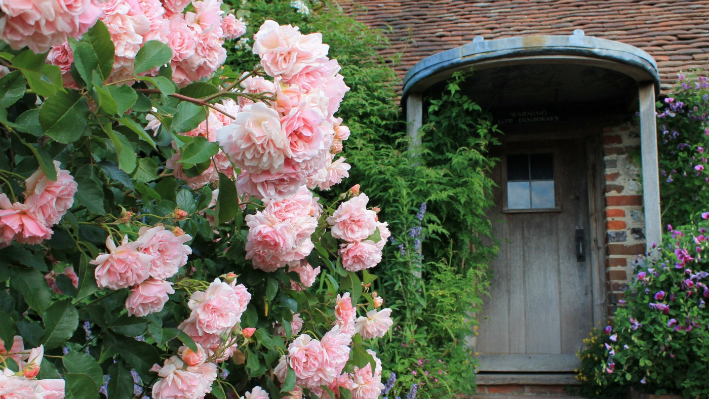 Rosa felicia on the terrace at Alfriston clergy house