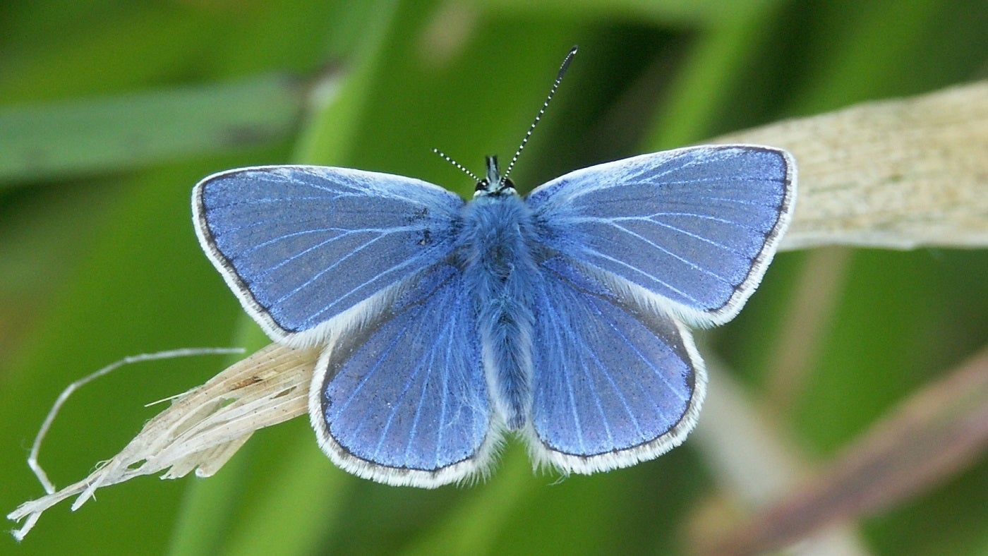 The common blue buttery
