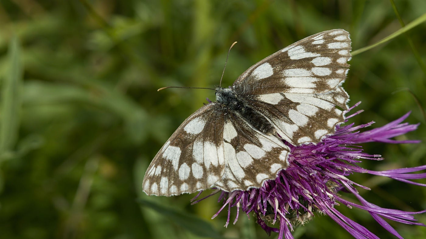 A marbled white butterfly nectaring on a greater knapweed flower head