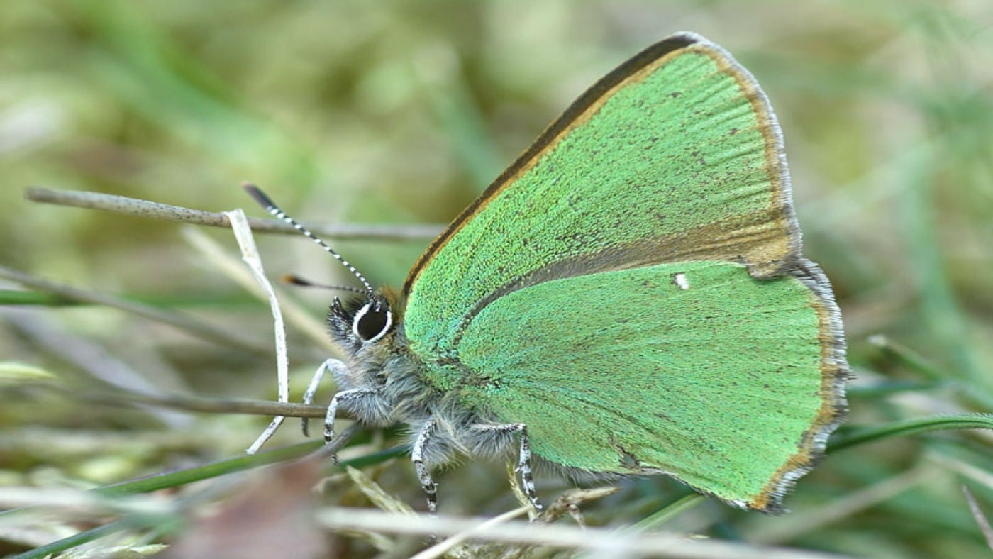 A green hairstreak